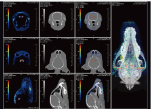 Dog striatal imaging (PET and Alien CT fusion)